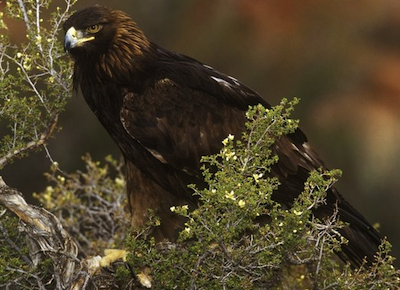 golden-eagle-copy