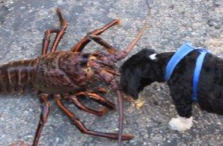 12-Pound Lobster Off Of California – Atlnightspots